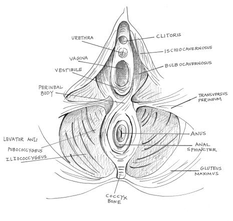 pelvic floor diagram